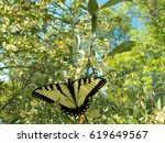 Canadian tiger swallowtail butterfly getting nectar from a flowering bush in the state park.