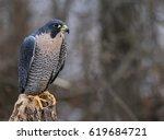 a peregrine falcon  falco... | Shutterstock . vector #619684721