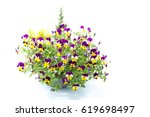 Tricolor Pansy Flower Plant Of...
