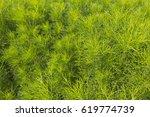 texture of fresh green dill... | Shutterstock . vector #619774739
