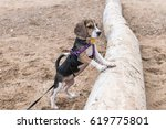 Stock photo small dog beagle puppy playing on the sanur beach of tropical island bali indonesia 619775801