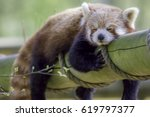Red Panda Sleeping. Cute Animal ...
