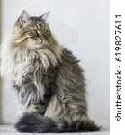Stock photo siberian brown cat brown tabby long haired 619827611