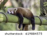 Small photo of Sleeping Red Panda (Ailurus fulgens). Funny cute animal image of a red panda asleep during afternoon siesta.