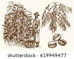 coffee farmer picking coffee... | Shutterstock .eps vector #619949477
