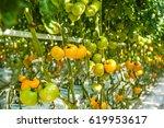 Ecological Grow Yellow Tomatoes