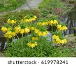 fritillaria imperialis  lutea... | Shutterstock . vector #619978241