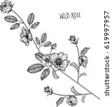 wild rose flowers drawing... | Shutterstock .eps vector #619997957