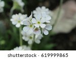 "Small photo of White ""Caucasian Rock Jasmine"" flower in St. Gallen, Switzerland. Its Latin name is Androsace Albana, native to Armenia, Turkey and northern Iran."