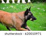 belgian shepherd dog | Shutterstock . vector #620010971