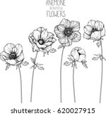 Anemone Flowers Drawing Vector...