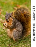 Cute Eastern Fox Squirrel Eating A Peanut - stock photo