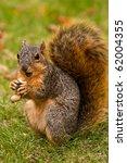 Cute Eastern Fox Squirrel...