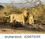 asiatic lion | Shutterstock . vector #620075195