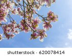 Beautiful Blooming Magnolia...