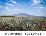 landscape of planting of agave...   Shutterstock . vector #620114411