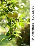 Green Apples On An Apple Tree...