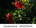 red and pink dahlias flowers at ... | Shutterstock . vector #620229164