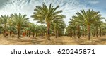 panoramic image of plantation... | Shutterstock . vector #620245871