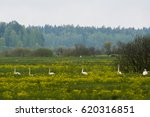 whooper swans at field  which... | Shutterstock . vector #620316851