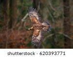 Golden Eagle  Flying Before...