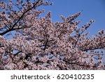 cherry blossom   prunus cerasus.... | Shutterstock . vector #620410235