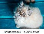 Stock photo persian kitten on blue background 620415935