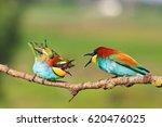 birds of paradise clarifies the ... | Shutterstock . vector #620476025