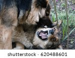 Small photo of Dog fighting. Two dogs playing aggressively.