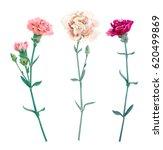 set of carnation schabaud ... | Shutterstock .eps vector #620499869
