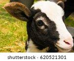little lamb | Shutterstock . vector #620521301