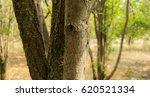 tree trunk | Shutterstock . vector #620521334