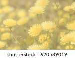 yellow blossoming  flowers in... | Shutterstock . vector #620539019