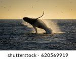 humpback whale breaching. south ... | Shutterstock . vector #620569919