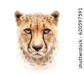 cheetah face isolated on white... | Shutterstock . vector #620597591