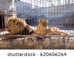 a pair of lions in captivity in ... | Shutterstock . vector #620606264