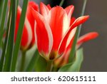 Small photo of Beautiful flower of Tulipa greigii 'Pinocchio' , red and white color.