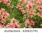 Oleander Pink Flowers...