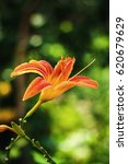 Small photo of Wood lily bloom on a meadow