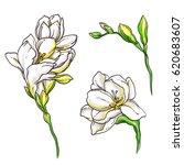white freesia flowers blossom.... | Shutterstock . vector #620683607
