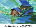 A Captive Sea Lion Swimming In...