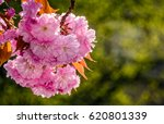 beautiful spring background. pink Sakura flowers closeup on a branch. blurred background of blossoming garden in springtime - stock photo