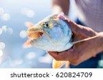 Caught Tigerfish  Hydrocynus...