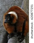 Red Ruffed Lemur   The Red...