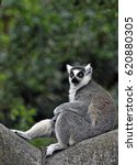 The Ring Tailed Lemur Is A...