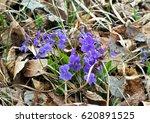 blooming viola odorata  sweet... | Shutterstock . vector #620891525