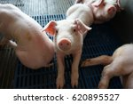 Piglets In The Pig Pen