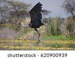Goliath Heron Taking Off 3
