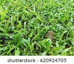 grass | Shutterstock . vector #620924705