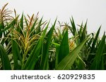 Full Grown Maize Plants  Male...